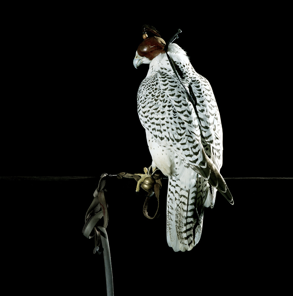 "Gyr Falcon on screen perch    £1,000.00    Hahnemuhle Photo Silk Baryta fine art print, signed limited edition of 10    Size: 20"" x 20"""