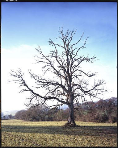 Broadhempston Oak © Simon Upton
