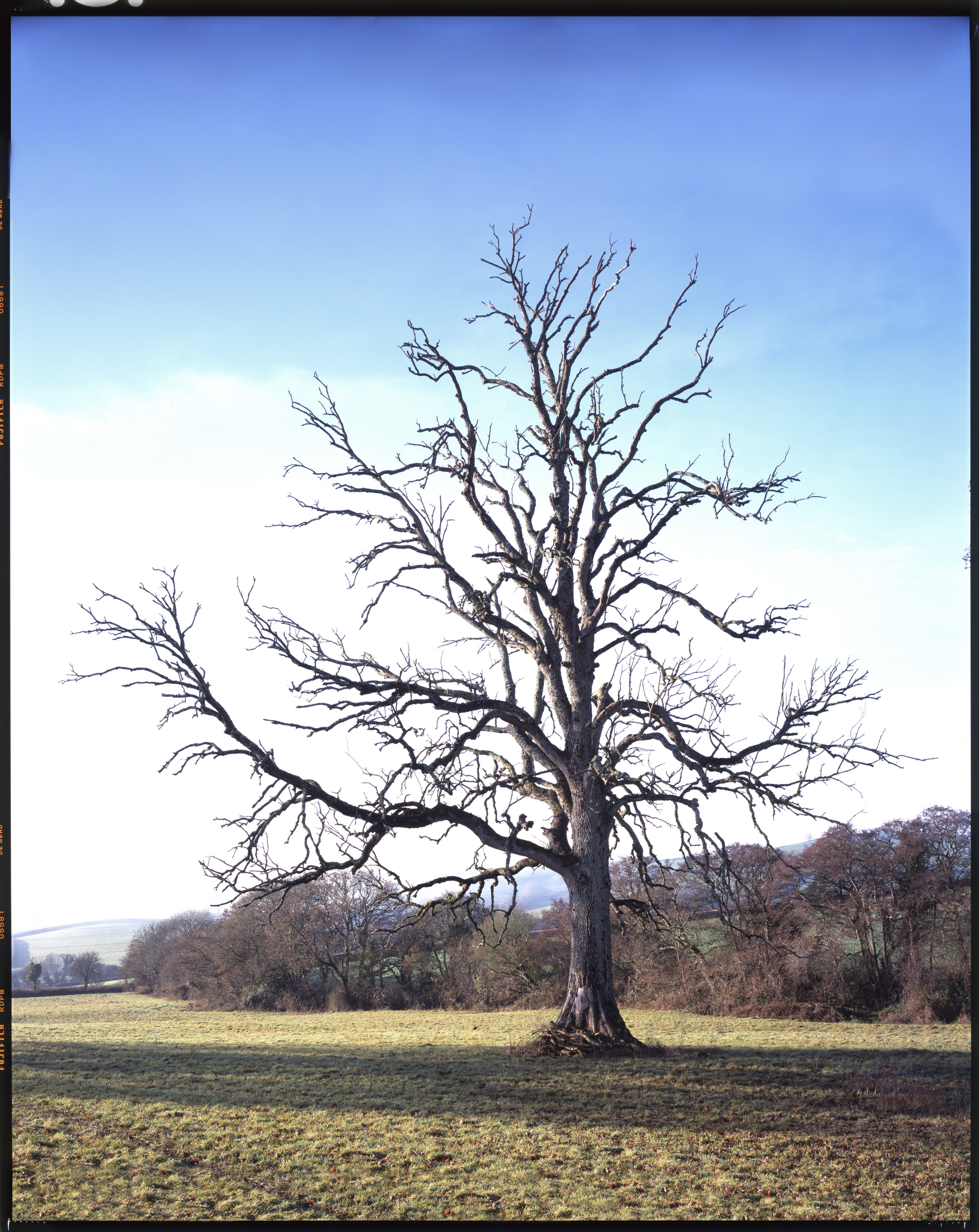 "Broadhempston Oak    £700.00    Hahnemuhle Photo Silk Baryta fine art print, signed limited edition of 10    Size: 19"" x 15"""
