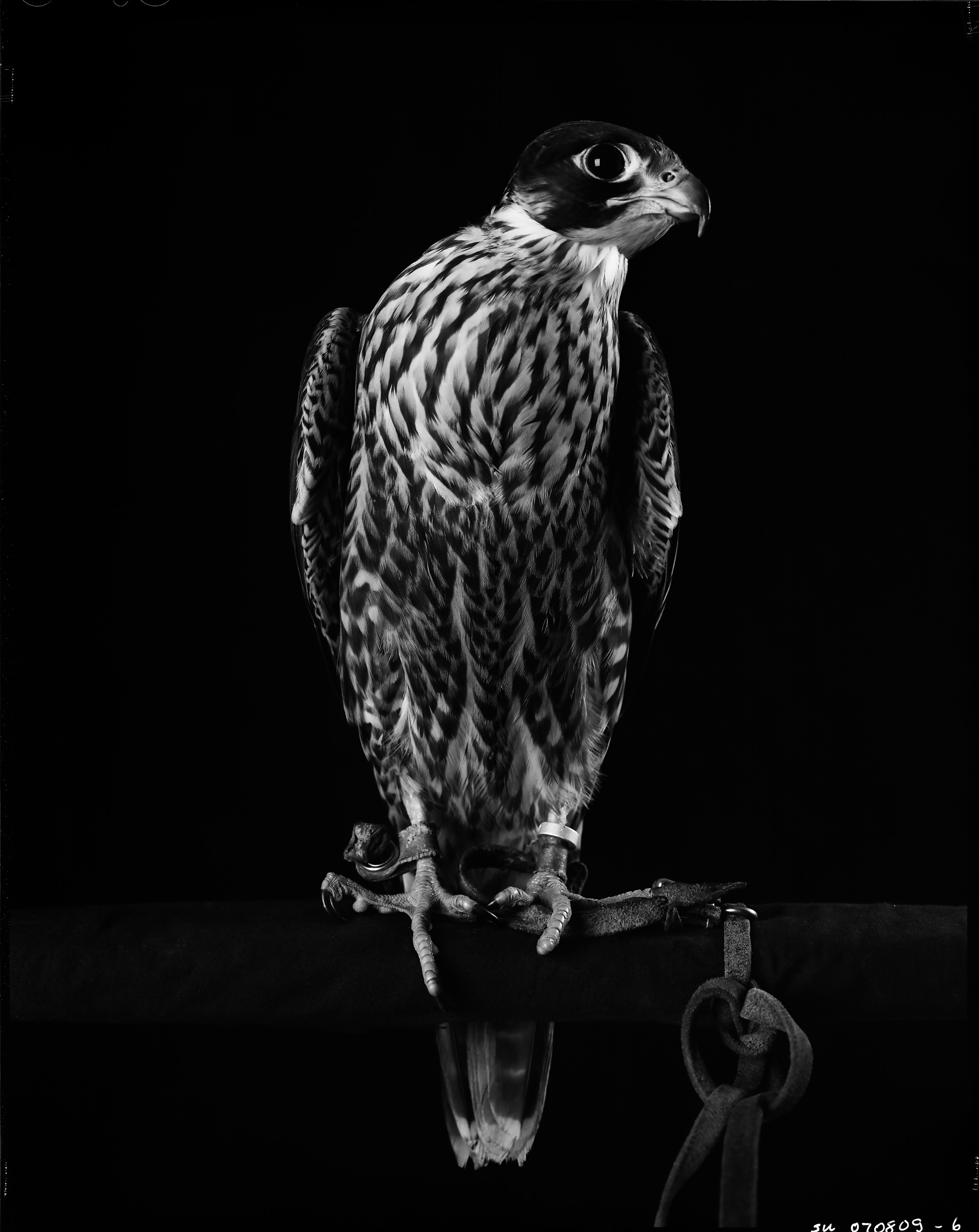 "Immature Peregrine Falcon on screen perch    £500.00    Hahnemuhle Photo Silk Baryta fine art print, signed limited edition of 10    Size: 15"" x 12"""