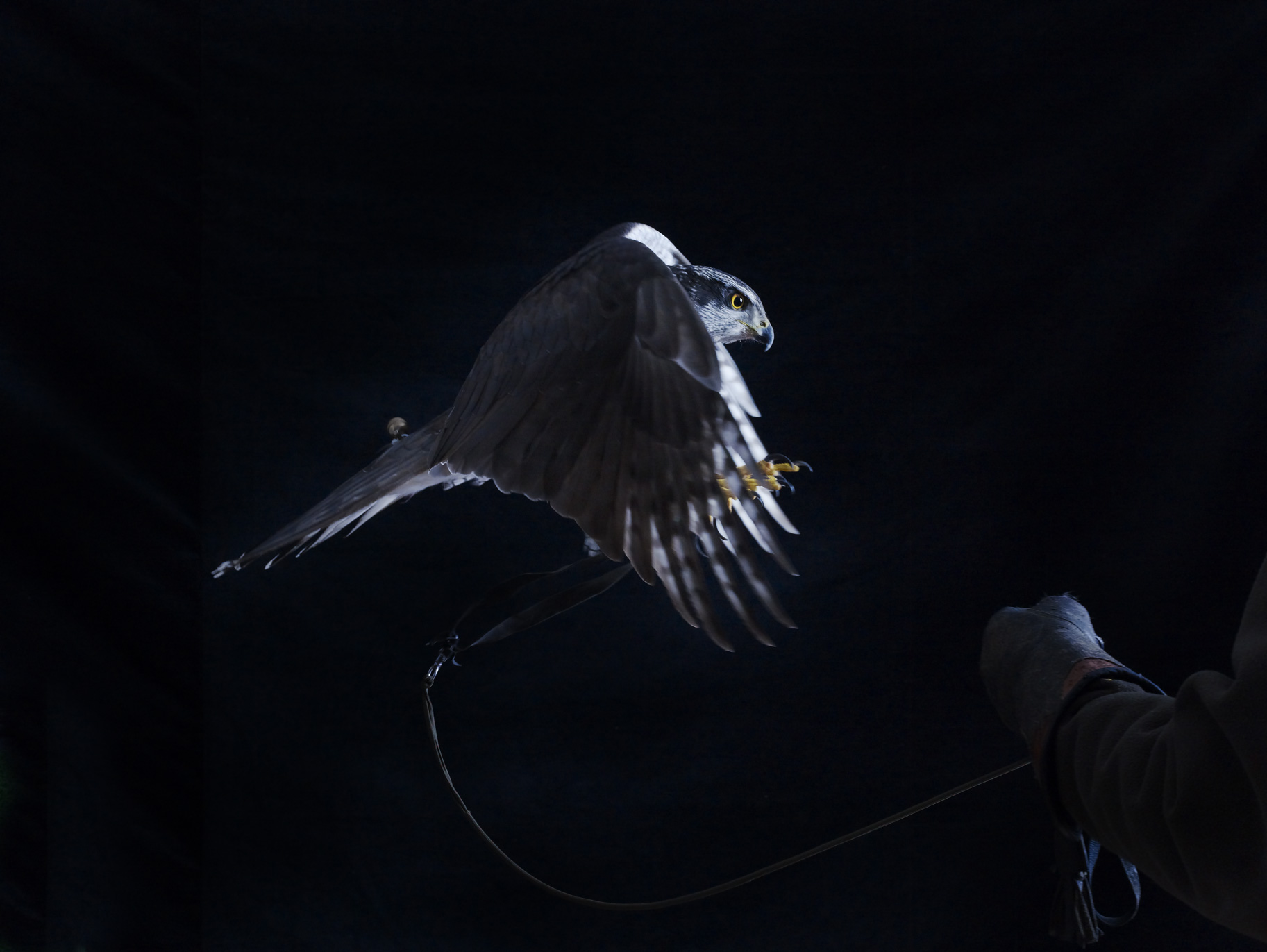 "Goshawk in flight 2    £700.00    Hahnemuhle Photo Silk Baryta fine art print, signed limited edition of 10    Size: 19.5"" x 14.5"""