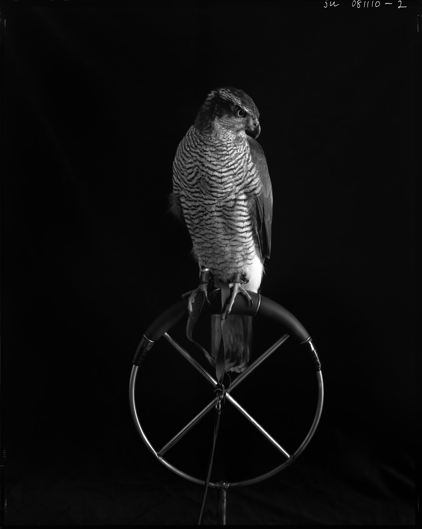 "Goshawk on ring perch    £500.00    Hahnemuhle Photo Silk Baryta fine art print, signed limited edition of 10    Size: 16"" x 12"""