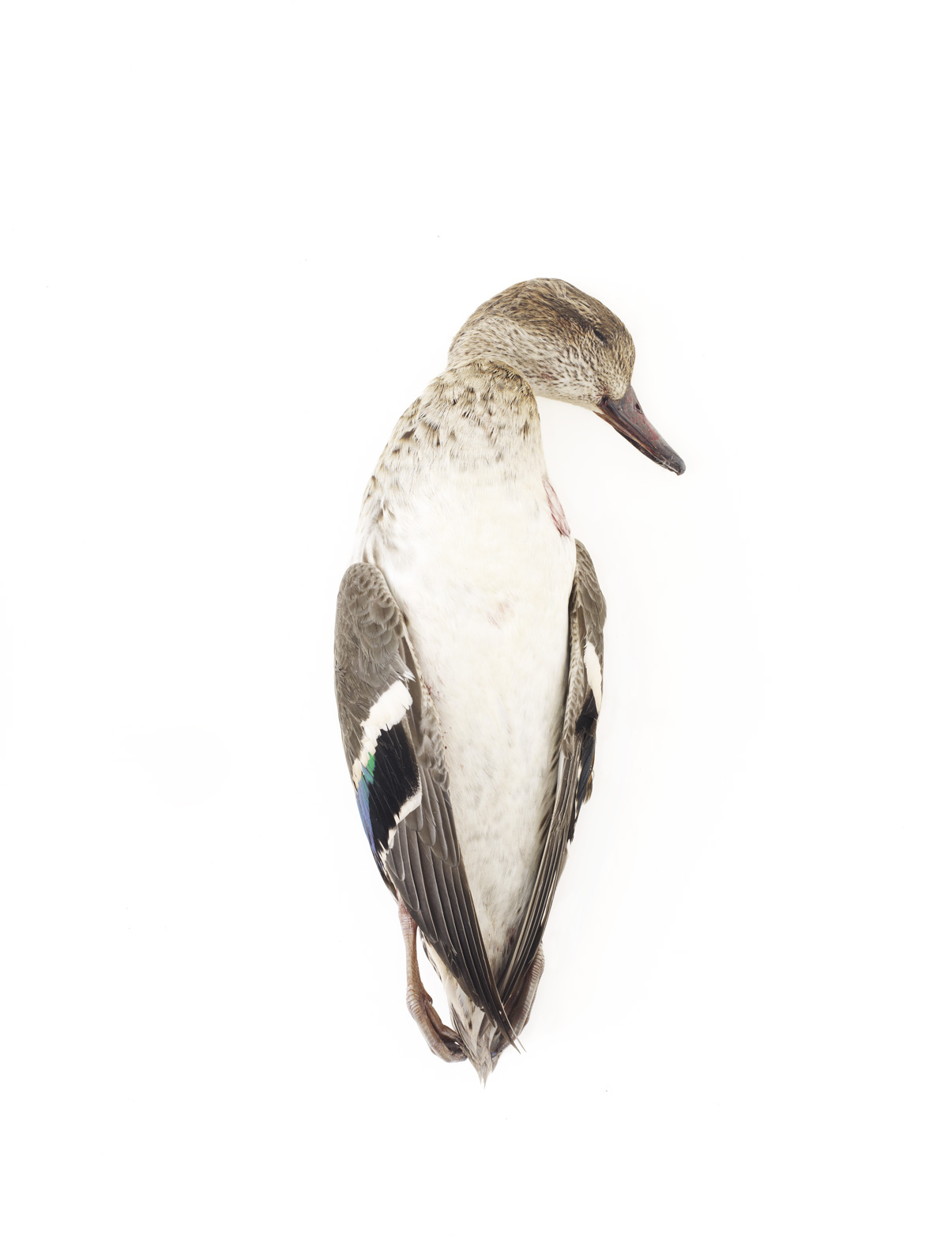 "Teal Duck 8    £300.00    Giclee fine art print, signed limited edition of 19    Size: 10"" x 8"""